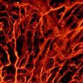 Die optoakustische Bildgebung eignet sich besonders gut, um Blutgefässe sichtbar zu machen. (Bild: ETH Zürich / Daniel Razansky)